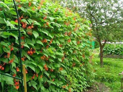 Фасоль в саду