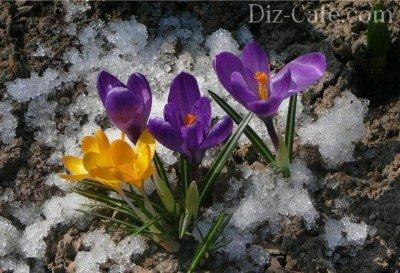 Луковичные цветы посадка осенью и уход в открытом грунте