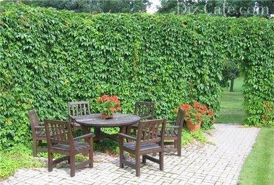 Забор увитый диким виноградом