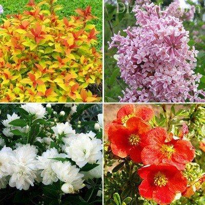 Декоративные сорта красивоцветущих кустарников
