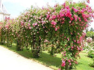 Можно ли в сентябре сажать розы