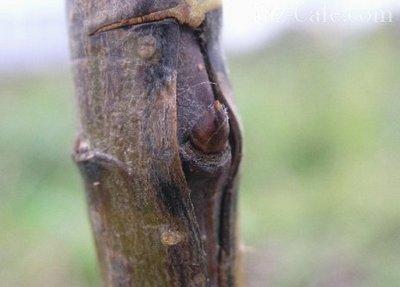 Прививка плодовых деревьев ( окулировка): обзор лучших способов