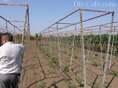 производства винограда,