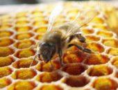 Медоносные «домашние» пчелы