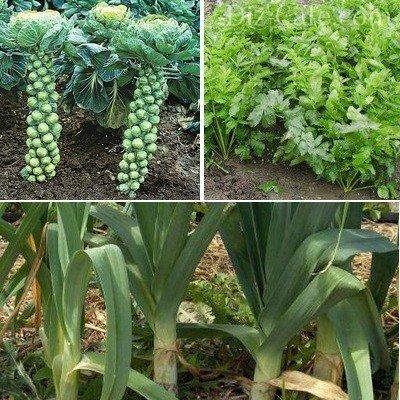 Сбор зимнего урожая