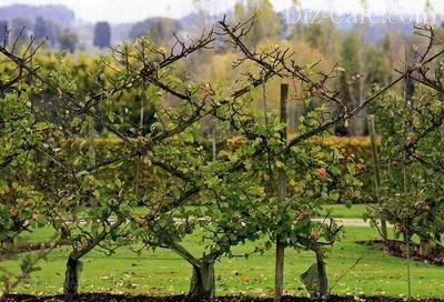 Шпалера из яблонь
