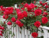 Как правильно выращивать плетистые розы: правила посадки и ухода