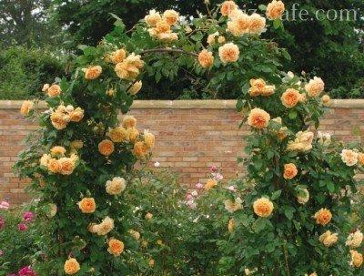 Роза вьющаяся