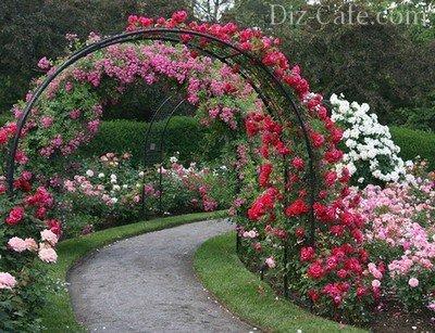 Уход за розами в июле подкормка