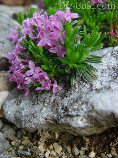 Альпийские растения для чешской скалки