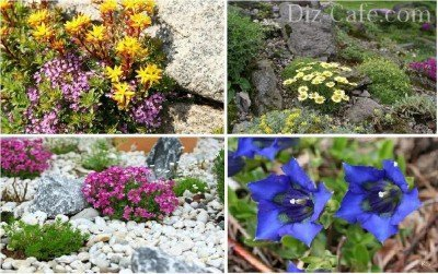 Альпийские растения для каменистой горки чешской скалки
