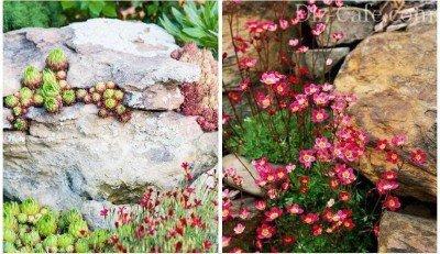 Альпийские растения для каменистой горки чешская скалка
