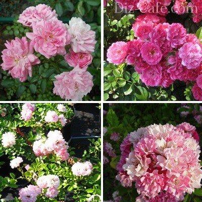 Красивые сорта роз рамблеров