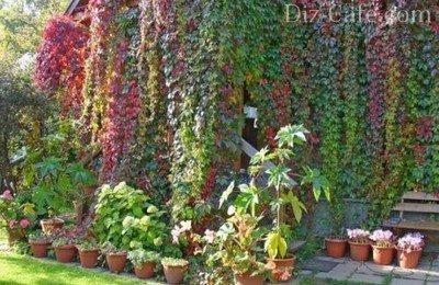 Пестрые оттенки листвы дикого винограда