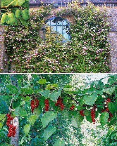 Красивоцветущие лианы лимонника и актинидии
