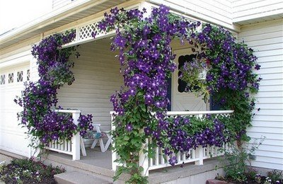 Вьющийся цветок клематис