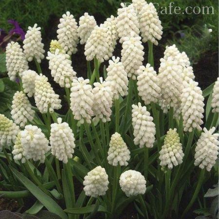 Клубни цветов с названиями фото