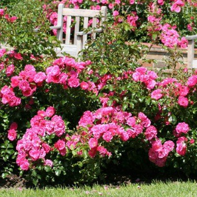 Почвопокровная роза