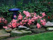 Посадка, выращивание и уход за почвопокровной розой