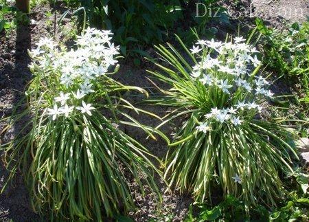 Каталог бордюрных цветов и растений многолетников