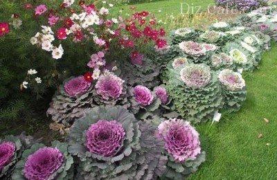 Оформление цветника декоративной капустой