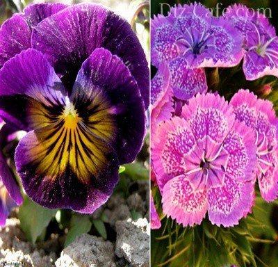 Непривередливые двухлетние цветущие
