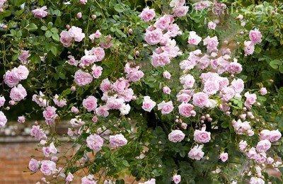Плетистая роза Нью Даун