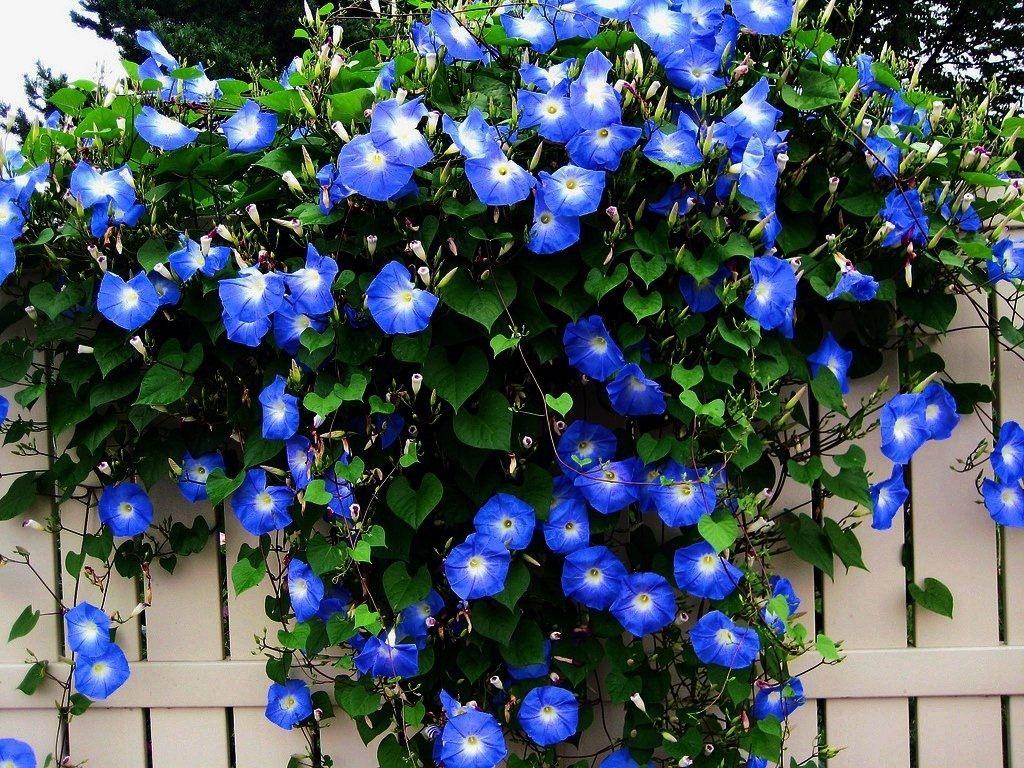 Вьющиеся цветы звездочка