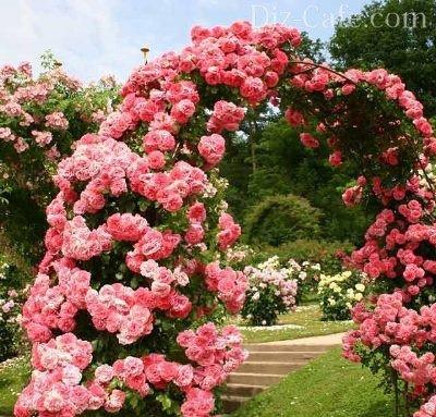 Уход за розами в августе и сентябре в сибири
