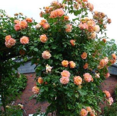 Роза посадка и уход в подмосковье