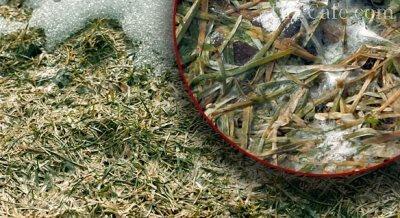 болезни газонной травы и их лечение фото
