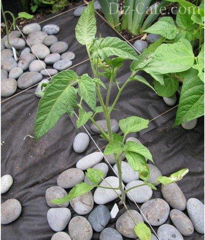 Выращивание помидоров на участке
