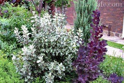 Засухоустойчивый кустарник лох с серебристой листвой