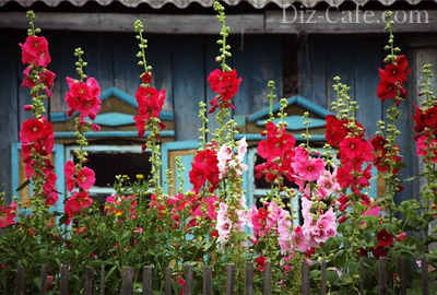 «Огоньки» цветков шток-розы