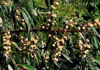 Ветки с плодами лоха серебристого