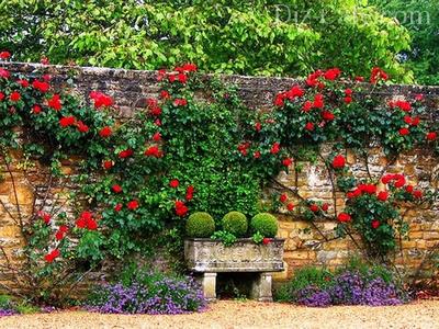 Забор, украшенный плетущимися розами