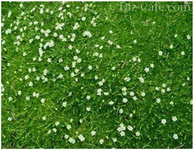 Цветущий газон из мшанки шиловидной