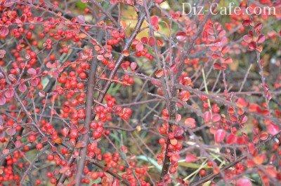 ягоды барбариса