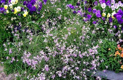 Неприметные цветы ночной фиалки на фоне яркого цветника