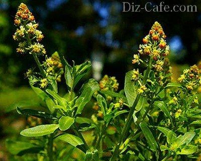 Резеда душистая - растение, проверенное временем