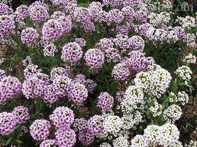 Алиссум - однолетнее растение с ярко выраженным ароматом