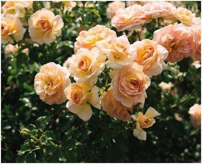 Аромат роз не нуждается в рекламе