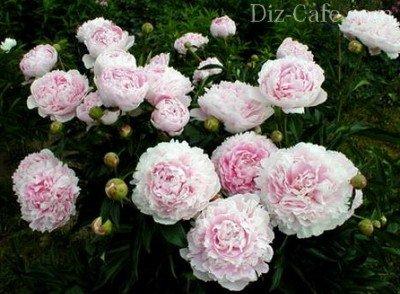 Куст пиона в период цветения