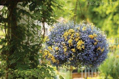 Голубая лобелия в подвесной корзине