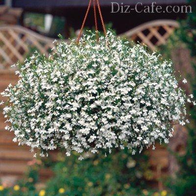 Белая лобелия в подвесной корзине