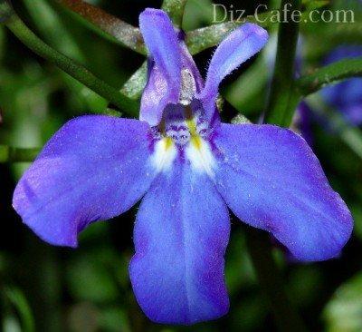 Цветок лобелии голубого цвета