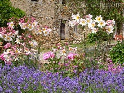 Бело-розовые лилии с голубыми цветами
