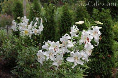 Лилии на фоне хвойников