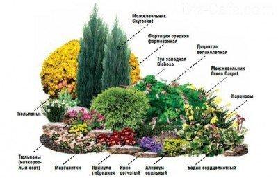 Ялівець в саду