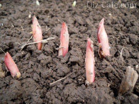 Весенние ростки пионов